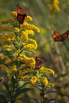 """Goldenrod for autumn pollen""      (Pinned also to Nature - Animals-Butterflies/Moths)"