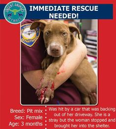 SUPER SUPER URGENT!!! Urgent Animals at Fort Worth Animal Care and Control, **Fort Worth, TX**CURRENT STATUS: Medically Urgent - IMMEDIATE RESCUE NEEDED** Reason for URGENT: Hit by Car - Lacerated Paw, Animal ID: no ID# currently available Breed: Pit mix, Sex: Female,Age: 3 months. To tag, please email fwaccfb@gmail.com immediately and include her id number. https://www.facebook.com/fwaccurgents/photos/a.640771319328299.1073742291.137921312946638/704628099609287/?type=1