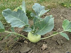 Seeds Kohlrabi Delikatesnaya BelayaDelicious Heirloom Vegetable ** Check out this great product. (This is an affiliate link) Outdoor Gardens, Ale, Cabbage, Seeds, Stuffed Peppers, Vegetables, Bulbs, Link, Check