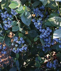 Blueberry, Misty.Attractive and productive southern highbush variety.