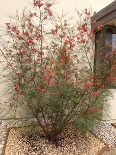 Grevillea 'Long John' -  Long weeping bright green leaves; dramatic orange-pink flowers winter through spring. Grows to 10 feet tall, 15 feet wide. Low water, well draining soil, avoid high phosphorus fertilizers. Full sun. Plant 8 feet on center for hedge.