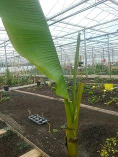 Bananenboom in de kas
