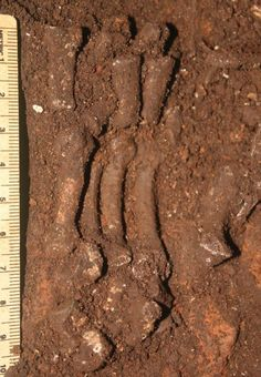 Homo naledi Hand: The hand emerges from the cave sediment with the bones in position.