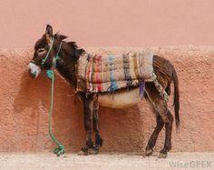 Christmas Donkey during Las Posadas – – Las Posadas is a traditional Mexican festival that takes place from 16 December to 24 December. During Las Posadas, people often. Donkey Pics, Donkey Donkey, Cute Donkey, Beautiful Creatures, Animals Beautiful, Farm Animals, Cute Animals, Wild Animals, Christmas Donkey