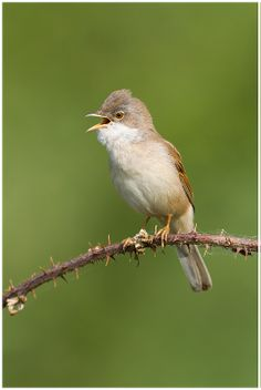 Whitethroat - a common sight and sound along the riverside in the summer, also Field Lane near Morton and Cassies Wood