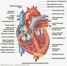 Anatomy Of The Human Heart . Anatomy Of The Human Heart Heart Diagram Rightleft Atria Rightleft Ventricles Pulmonary Human Body Anatomy, Human Anatomy And Physiology, Muscle Anatomy, Human Heart Diagram, Diagram Of The Heart, Heart Structure Diagram, Human Body Diagram, Heart Anatomy, Cardiac Nursing
