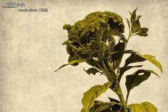 2014-12-21 - Celosia cristata 雞冠花@台南市仁德區中洲里