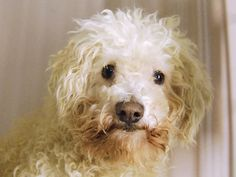 Manhattan Center   ROCKY - A1025058 *** EXPERIENCED HOME ***  MALE, WHITE, POODLE MIN MIX, 7 yrs STRAY - ONHOLDHERE, HOLD FOR ID Reason STRAY  Intake condition UNSPECIFIE Intake Date 01/09/2015, From NY 11216, DueOut Date 01/18/2015,  https://www.facebook.com/Urgentdeathrowdogs/photos/pb.152876678058553.-2207520000.1421797657./947250985287781/?type=3&theater