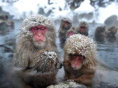 Japanese snow monkeys enjoying a hot spring