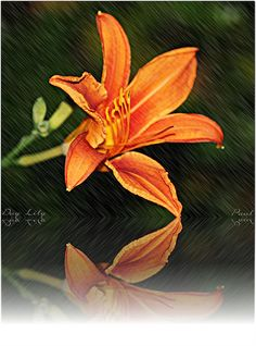 Day Lily by PaulO Classic. ©, via Flickr Day Lilies, Lily, Classic, Plants, Derby, Orchids, Classic Books, Plant, Lilies