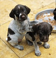 German Shorthaired Pointer puppies - I want one now! .... quail feather on the end of a fishing rod ... it's just sooooooooooo instinctive for them to point .. some point pretty funnnnny though lol <3