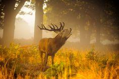 Richmond Park, Park Photography, Deer, Moose Art, Animals, Autumn, Image, Animales, Animaux