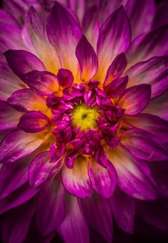 dahlia by Alan Shapiro on 500px