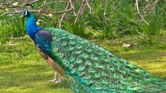 Indian Blue Peacock in All its Glory - Pavo Real Cristatus Glamuroso, Pf. Male Peacock, Indian Peacock, Indian Blue, Peacock Blue, Peacock Images, Peacock Pictures, Peacock Pics, Peacock Decor, Most Beautiful Birds