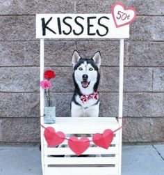 A husky who's ready to pass out kisses, but at a cost!