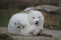 Beautiful white baby fox in naughty mood http://ift.tt/2nL8Hl8