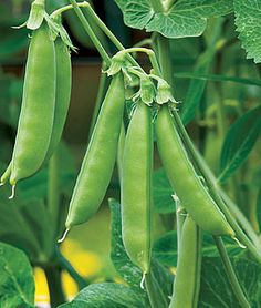 Sugar Snap Pea Seeds and Plants, Vegetable Gardening at Burpee.com