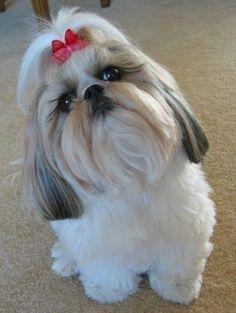 Shih Tzus, Shih Tzu Hund, Shih Tzu Puppy, Shitzu Puppies, Cute Dogs And Puppies, Baby Dogs, Doggies, Cutest Small Dog Breeds, Cute Small Dogs