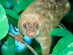 SPILOCUSCUS WILSONI: Diese neue Kuskus-Art gehört zur Familie der Kletterbeutler. Spilocuscus wilsoni ist eines der wenigen Säugetiere, die neu entdeckt wurden