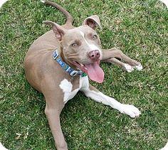 Goleta, CA - Pit Bull Terrier Mix. Meet Cooper, a puppy for adoption. http://www.adoptapet.com/pet/10795896-goleta-california-pit-bull-terrier-mix