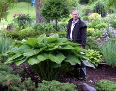 """""""Vim and Vigor"""" hosta - WOW!!! I can't believe the size of this hosta! AWESOME & beautiful. Inspires me."""