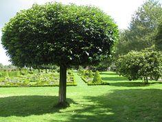 File:Laurel tree - geograph.org.uk - 1417175.jpg - Wikimedia Commons