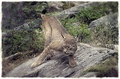 Lynx Lynx, Jungle Cat