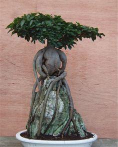 Ginseng grafted ficus over rock Ficus Ginseng Bonsai, Bonsai Plants, Bonsai Garden, Garden Pots, Bonsai Trees, Indoor Bonsai, Indoor Plants, Live Plants, Houseplants
