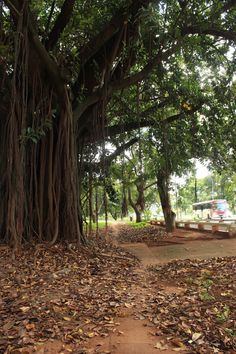 Isto é Brasília - E é árvore pra todo canto tomando conta das calçadas e vias de tráfego.