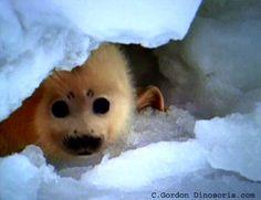 Mammifères Marins: Phoque du Groenland - Frawsy