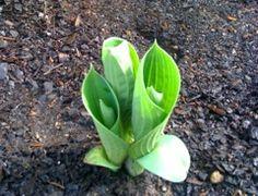 Hosta emerging in the spring.
