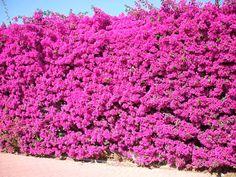 bougainvillea climbing on a tree Hillside Garden, Garden Shrubs, Backyard Garden Design, Unique Plants, Cool Plants, Santa Rita Planta, Cerca Natural, Bougainvillea Tree, Privacy Fence Landscaping