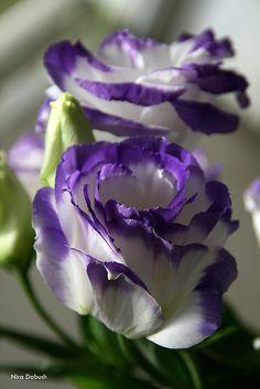 ~~Floral Delights by Nira Dabush ~ lisianthus~~