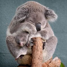Boonda the six-month-old baby koala makes his public debut with his mother Elle in their enclosure at Sydney Wildlife World