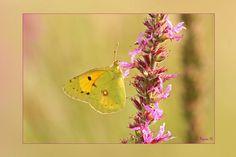 Oranje luzerne vlinder, gefotografeerd door Regina, moeilijk gefotografeerd, zeer beweeglijk. Ruinen. De oranje luzerne vlinder is een trekvlinder die ieder voorjaar van zuid Europa en noord Afrika naar het noorden vliegen.