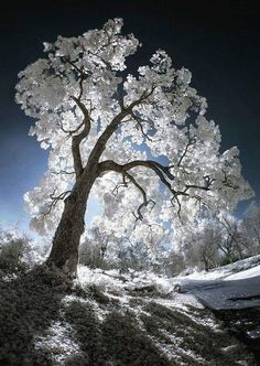 Luminescent Tree IR is part of Nature tree - Los Angeles County Arboretum and Botanic Garden, Digital Infrared Landscape Photography, Nature Photography, Landscape Pics, Travel Photography, Unique Trees, Winter Scenery, Nature Tree, Tree Art, Nature Pictures
