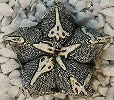 astrophytum myriostigma hakujo