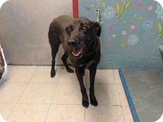 Lancaster, CA - Labrador Retriever Mix. Meet A4842523, a dog for adoption. http://www.adoptapet.com/pet/13206737-lancaster-california-labrador-retriever-mix