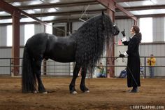 friesien horse alexander the great | ... Center News: Frederik the Great presented at Twin Springs