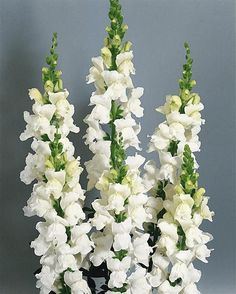 antirrhinum majus white (Snap dragon)  Great site to look up plants find their region, water and sun needs!