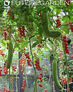 Hanging garden with tomatoes and cucumbers.