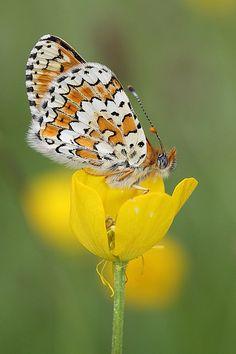 Melitaea cinxia #gardening#powerscourt#butterflies