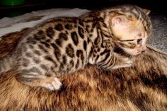 Hey kitty, kitty, you're so sweet. You're lying on a pelt made from your mother, isn't that lovely ? Leopard Animal, My Animal, I Love Cats, Crazy Cats, Bengal Kittens, Kittens And Puppies, Kitty Kitty, Nature Animals, Cute Baby Animals