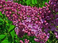 Syringa vulgaris 'Andenken an Ludwig Späth' - sering, kruidnagel kopen Syringa Vulgaris, Xeriscaping, New Growth, Trees And Shrubs, How To Level Ground, Compost, Planting Flowers, Roots, Viajes