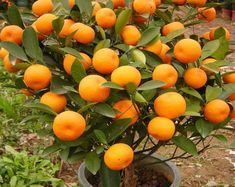 Aji Charapita Pepper Seeds -- 20 Seeds -- Non GMO -- All organically grown seeds Kumquat Tree, Lemon Seeds, Citrus Trees, Cherry Seeds, Fruit Seeds, Bonsai Seeds, Tree Seeds, Banana Seeds, Gardens