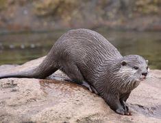 Znalezione obrazy dla zapytania Eurasian otter