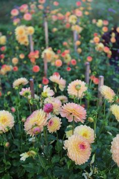 There is nothing difficult about growing dahlias. These flower-producing machines thrive almost everywhere and require little attention. Simply plant the tubers in spring and enjoy months of big, brightly-colored blossoms. Here are 8 expert tips to help y Planting Dahlias, Growing Dahlias, How To Grow Dahlias, Cut Flower Garden, Cut Garden, Flower Gardening, Dahlia Garden Ideas, Zinnia Garden, Flower Garden Plans