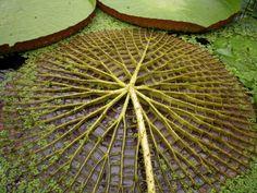 Parte de baixo da vitória-régia (amazonica ou cruziana)As folhas desta planta da América do Sul, podem chegar a ter cerca de 2 m de diâmetro, suportando até cerca de 136Kg.Possuem espinhos que as protegem e, com o seu tamanho,bloqueia a luz solar e impede outras plantas de se desenvolver abaixo dela. As flores atraem os insetos com a fragância doce e então fecha-se, aprisionando e cobrindo-os de pólen,ao soltá-los garante  a polinização.