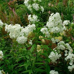 "Garden/Perennial Phlox ""This sturdy, upright perennial[...] In Jul. & Aug., & through Sep. with deadheading, it bears flowers in shades of white, coral, pink, red, lavender, & violet, depending on the cultivar.[..]Many of the cultivars are fragrant; scent is most noticeable at night. Noteworthy characteristics: Best known & latest-blooming phlox. Attracts butterflies & hummingbirds. When allowed to self-seed, cultivars may revert to a more vigorous plant with lavender-rose flowers."""