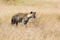 Spotted Hyena in savannah of Masai Mara National Reserve, Kenya Stock Photo
